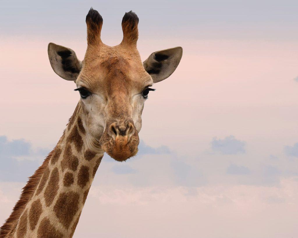 denk niet aan een giraffe